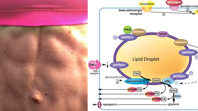 Increase the steps of Lipolysis (fat burning