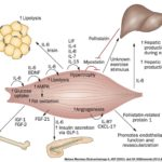 How Leptin Resistance Makes Your Muscles Sick, Impairing Your Ability to Burn Fat